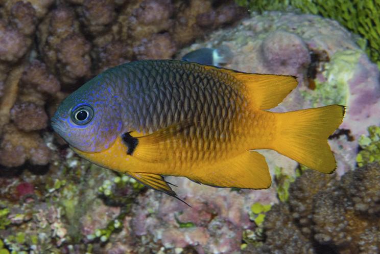 Pomacentrus-cf-philippinus-a-2